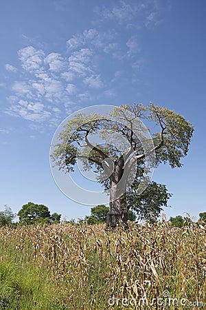 A Baobab tree, Malawi.