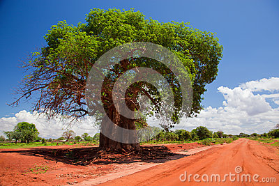 Baobab tree on red soil road, Kenya, Africa