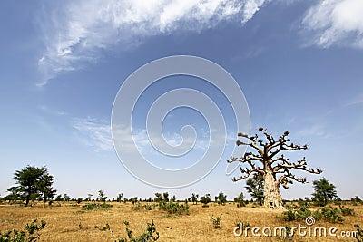 Baobab Tree in Senegal
