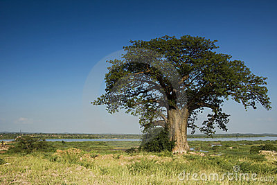 Baobab Tree, Zambezi River - Framed right