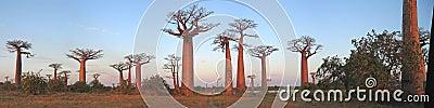 Baobabs forest, Baobab alley