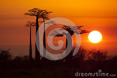 Baobabs with sunrise
