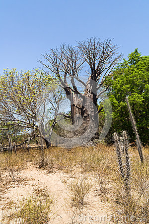Baobabs and vegetation