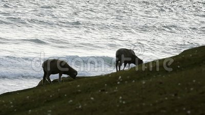 Barani karmienie w Falkland wyspach zdjęcie wideo