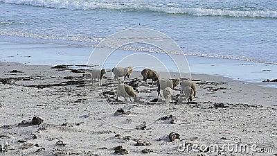 Barani karmienie w Falkland wyspach zbiory