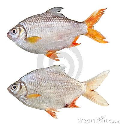 Barb Tinfoil Fish
