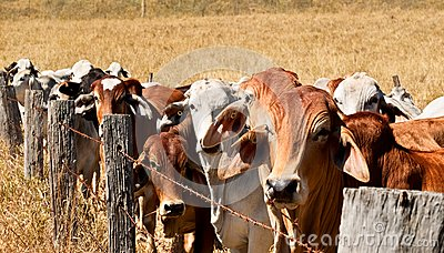 Barb wire fence restraining cows on ranch