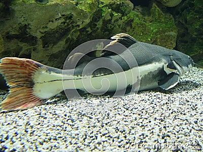 Barba larga de los pescados