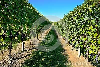 Barbaresco vineyard - Langhe, piedmont, Italy