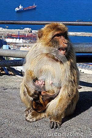 Barbary ape feeding her baby, Gibraltar.