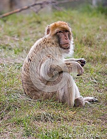 Barbary Ape sitting on grass