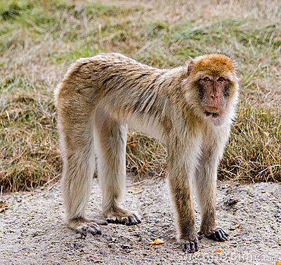 Barbary Ape standing on concrete