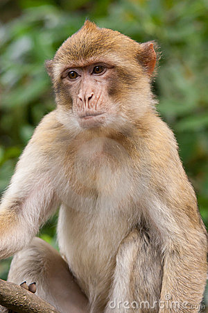 Free Barbary Macaque Royalty Free Stock Images - 21121369