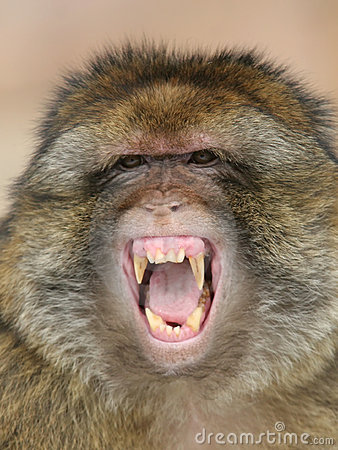 Free Barbary Macaque Royalty Free Stock Photography - 2730357