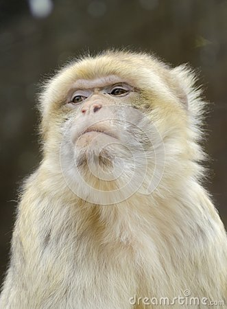 Free Barbary Macaque Stock Image - 37945801