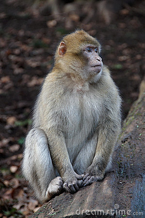 Free Barbary Macaque Stock Photo - 4984710