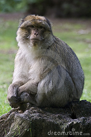Free Barbary Macaque Stock Image - 5555481