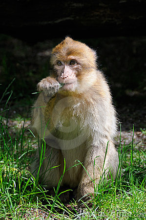 Free Barbary Macaque Stock Images - 6435814
