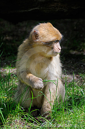 Free Barbary Macaque Stock Photography - 6436072