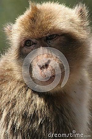 Free Barbary Macaque Royalty Free Stock Photos - 7002318