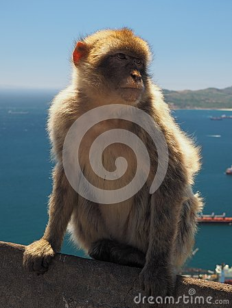 Free Barbary Macaque Ape On The Rock Of Gibraltar Royalty Free Stock Photo - 104486875