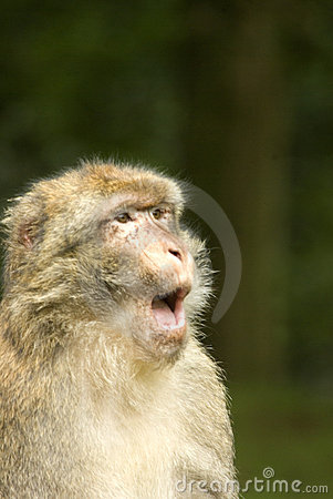 Barbary Macaque communicating