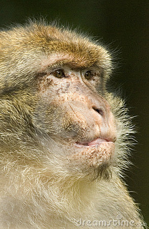 Barbary Macaque Portrait