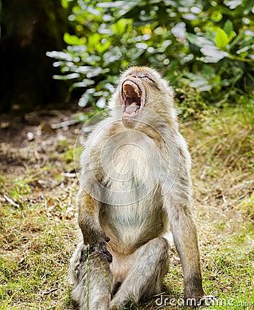 Free Barbary Macaque Yawning Royalty Free Stock Photo - 76913745