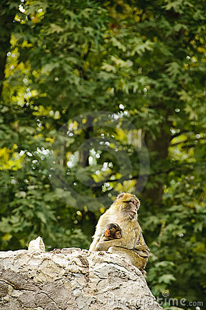 Barbary macaques mother and son