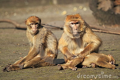 Barbary macaques trio