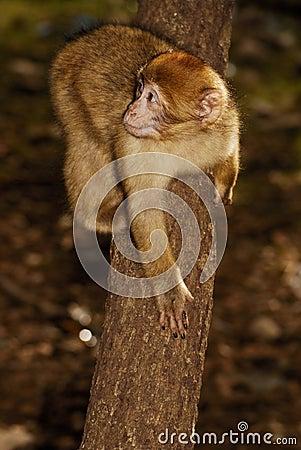 Barbary małpa w cedrowy drewniany pobliskim (Macaca sylvanus)