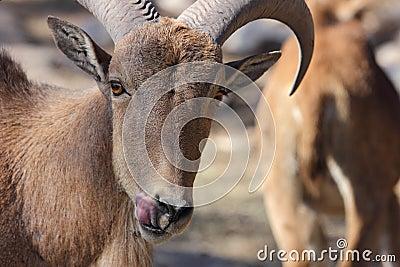 Barbary Sheep, Aoudad