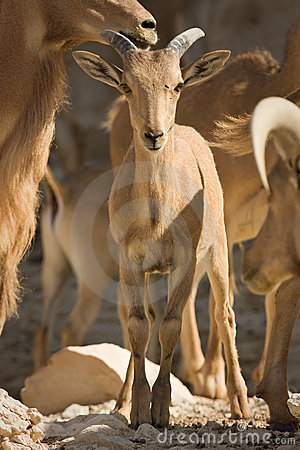 Free Barbary Sheep Baby Royalty Free Stock Image - 10429986