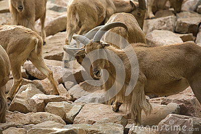 A barbary sheep flock