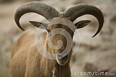 Barbary sheep head