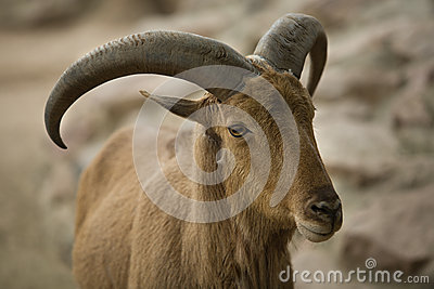 Barbary sheep horns
