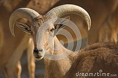 Barbary Sheep male