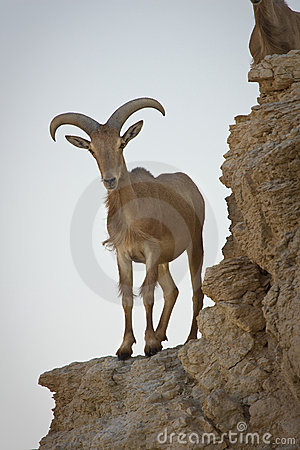 Free Barbary Sheep On Cliff Royalty Free Stock Image - 10429936
