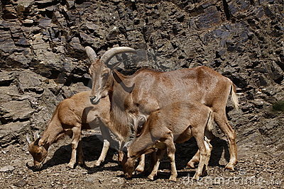 Barbary sheep with sucklings