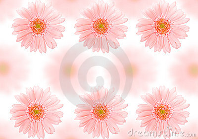 Barberton daisy background