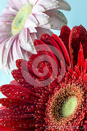 Barberton daisy(Gerbera jamesonii)