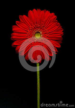 Free Barberton Daisy(Gerbera Jamesonii) Stock Image - 49216131