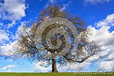 Bare chestnut tree