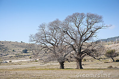Bare chestnut trees in winter