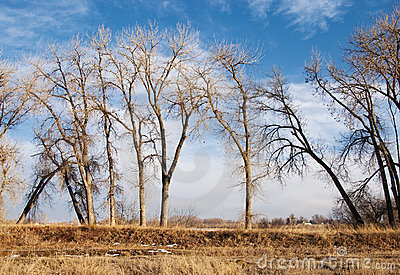 Bare Cottonwoods Leaning Towards Each Other