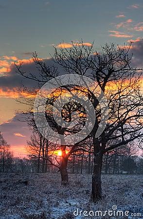 Bare oaks in early morning light