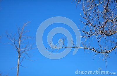 Bare pine tree with a bird