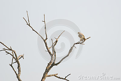 Bare tree and common kestrel