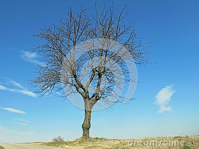Bare tree isolated on the Hill
