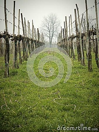 Bare vineyards